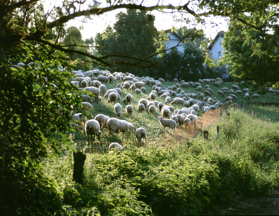 Ahauser Deich - Schafe