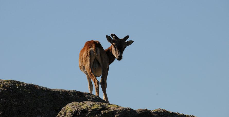 Mouflon du Caroux, Cévennes, faune sauvage