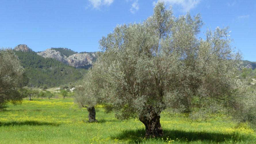 Drie daagse wandeling Paguera