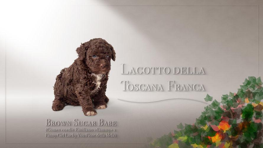 Brown Sugar Babe (Comes cordis Emiliano »Sammy«  x  Fanny Girl Lucky You Fiore della Mela aus der Zuchtstätte Della Toscana Franca)