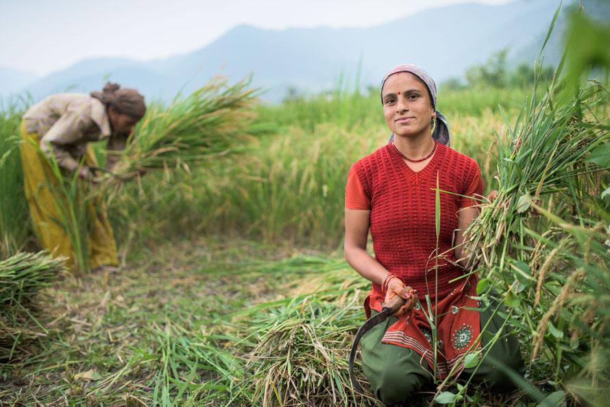 Reisernte im Navdanya-Projekt-Dorf Gundiyat Gaon in Indien. Copyright: Thomas Lohnes/Brot für die Welt
