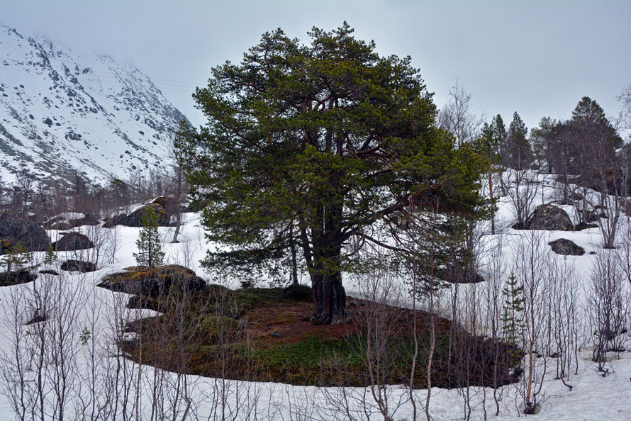 A small colony of stunted Scots Pine on the road to Jøvik.