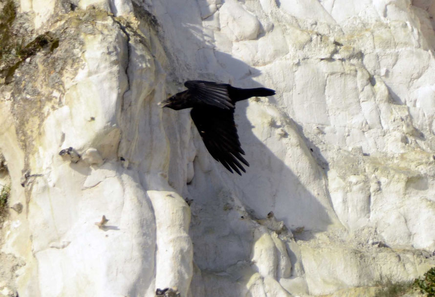Raven. (St Margaret's Bay, 26th November. 2015).