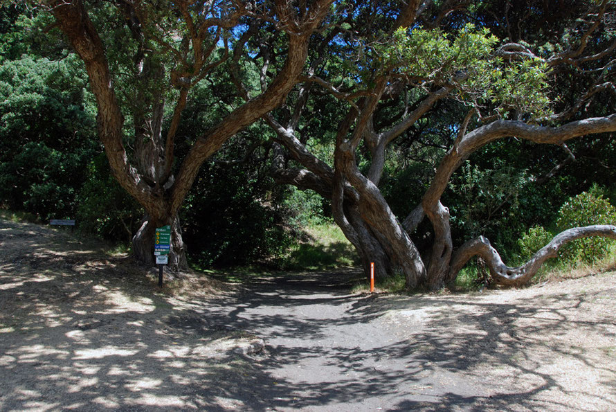 Large Pohutukawa trees (metrosideros excelsa) at the entrance to Karekare Beach.