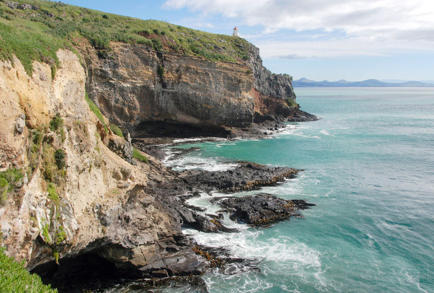 Taiaroa Head, Otago Peninsula and Bull Kelpr growing in the full force of the Pacific Ocean.