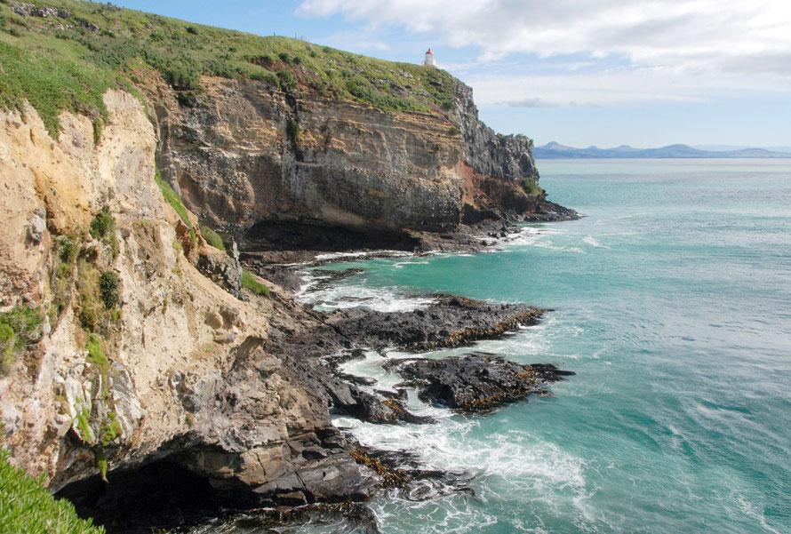Taiaroa Head, Otago Peninsula and Bull Kelpr growing in the full force of the Pacific Ocean.