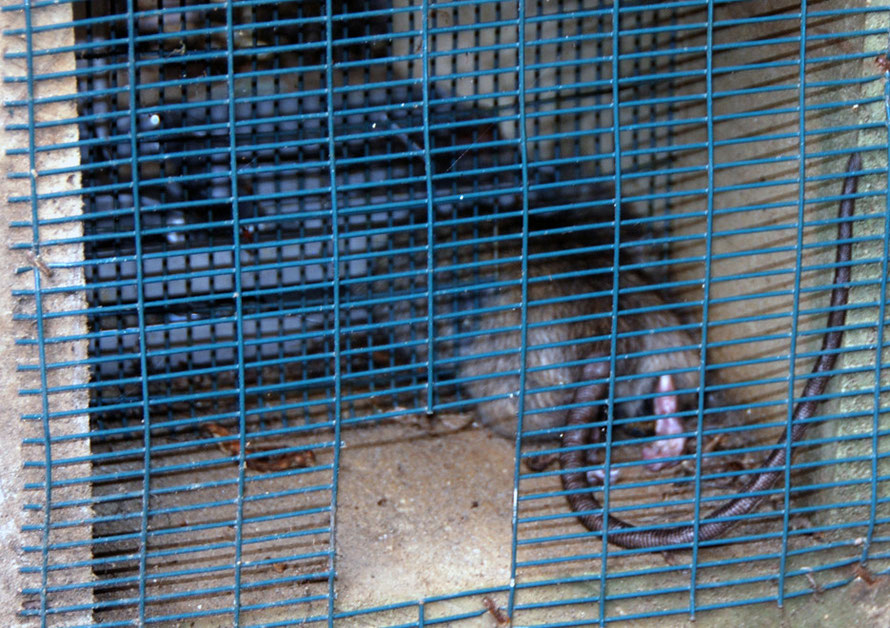 Of the hundreds of traps I swa on my rambles in New Zealand this was the only one with victim: on Stewart Island