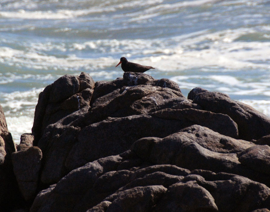 African Black Oystercatcher at Tsaarsbank, West Coast National Park where there are now 500 breeding pairs on the nearby islands