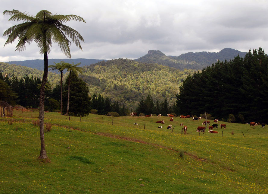 A break in the bush: Herford cattle, dark pines and buttercups high up in the Coromangdel Range from the Tapu-Coroglen road.
