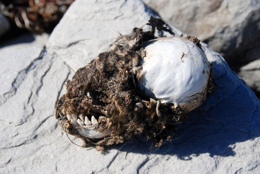 Cape Chacma baboon skull near Olifantbos Bay, Table Mountain National Park
