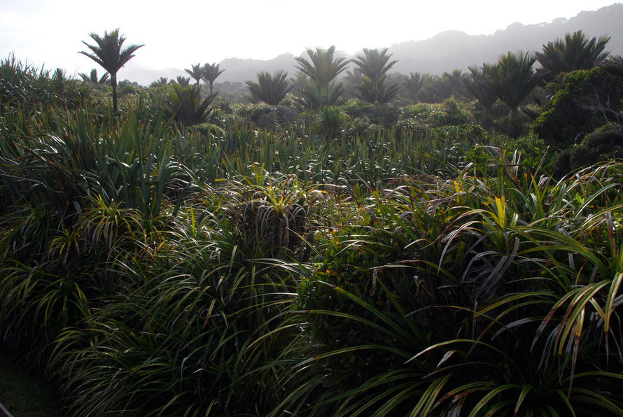 Nikau Palms, Flax and Kieke growing as lowland bush at Punakaiki Rocks