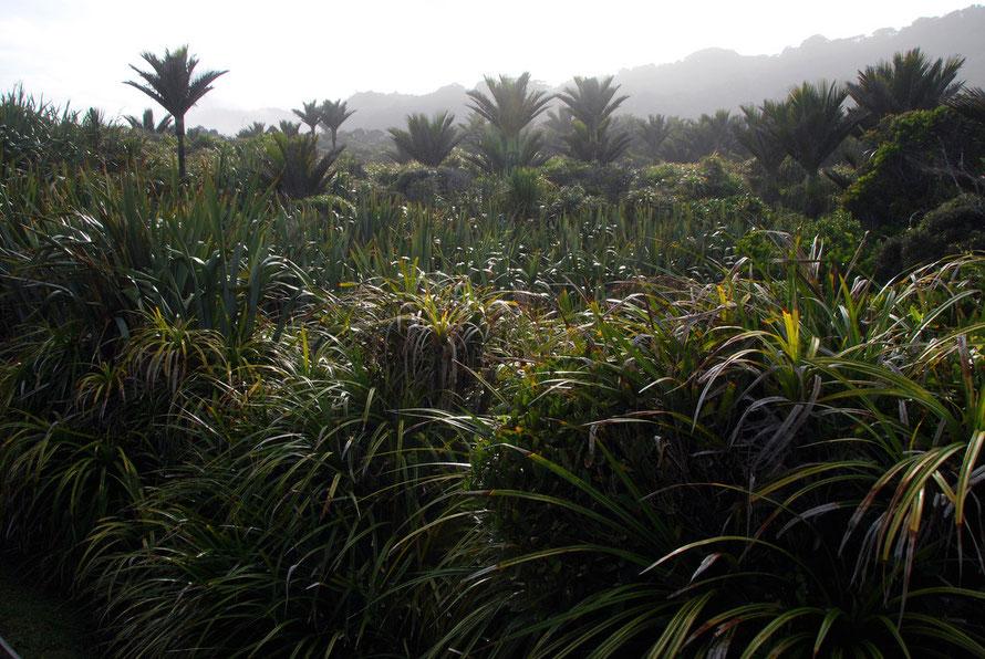 Nikau Palms, Flax and Kieke growing as lowland bush at Punakaiki Rocks
