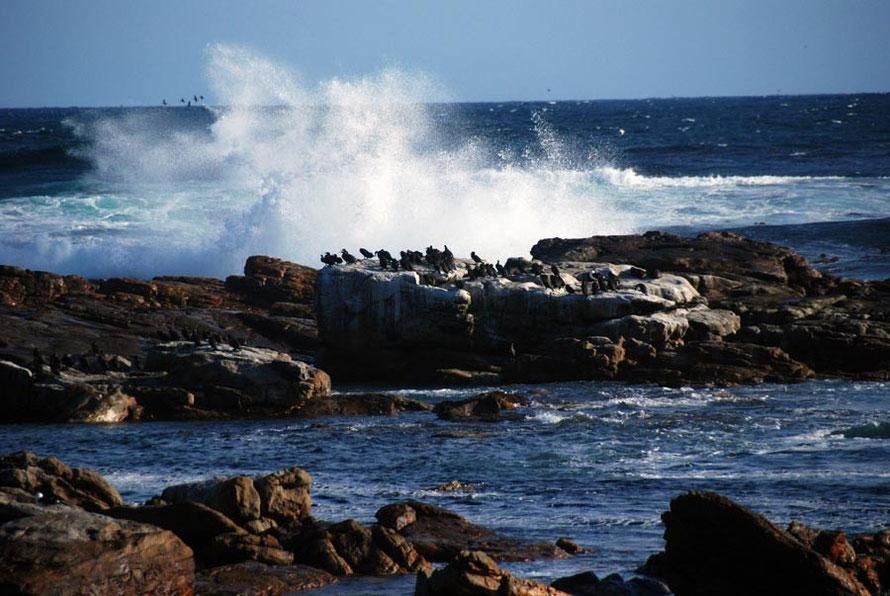 Cape Cormorants near Olifantbos Bay