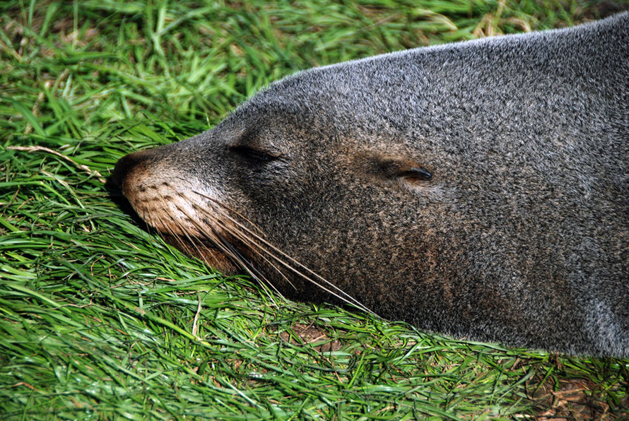 The pointy-nose of the fur seal. The fur is double layered: white tipped guard hairs and tightly packed under fur