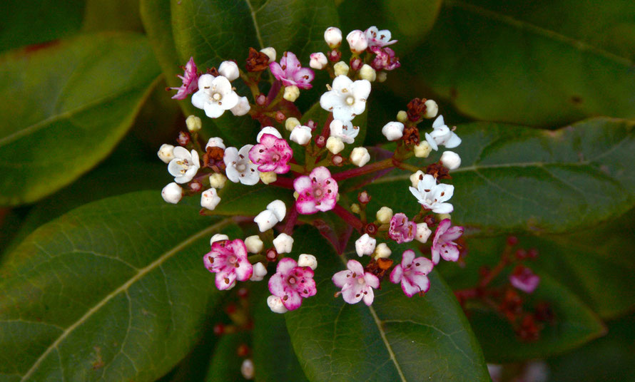 Viburnum tinus - an escapee. The chalk downland's most prolific viburnum is the Wayfaring Tree (Viburnum lantana).