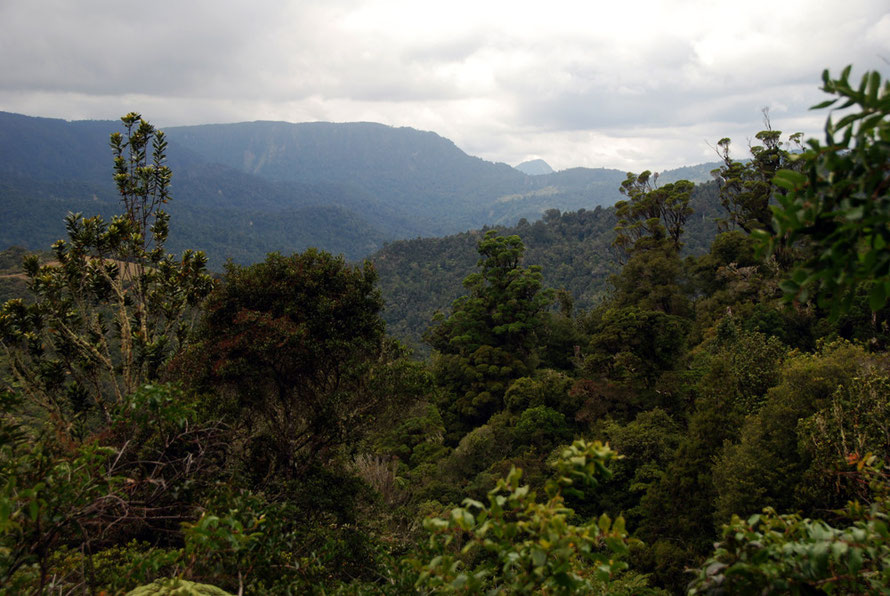 Regenerating temperate rain forest in the Coromandel Range from the Tapu-Coroglen road.