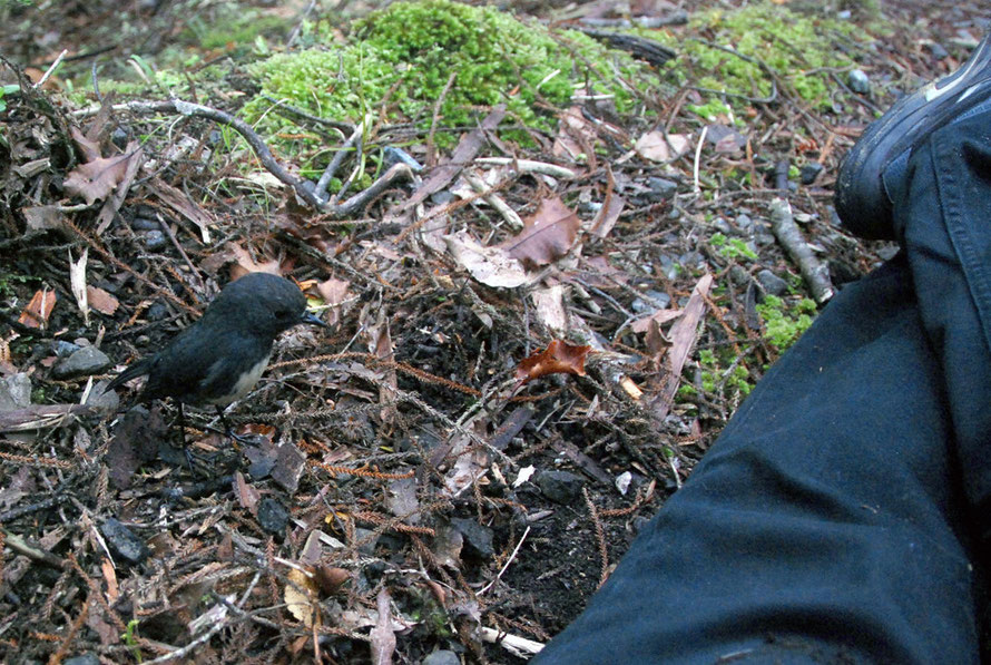 The extraordinarily 'unwild' wild Stewart Island Robin.  How long dies it take a bird to learn fear of humans?