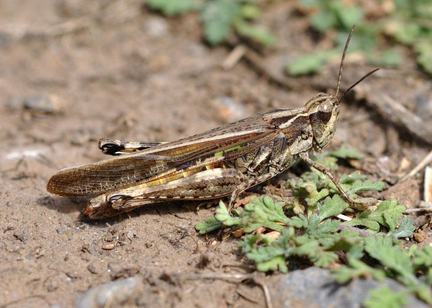 The Moroccan Locust (dociostaurus maroccanus) (c) Quatl @ Wikimedia