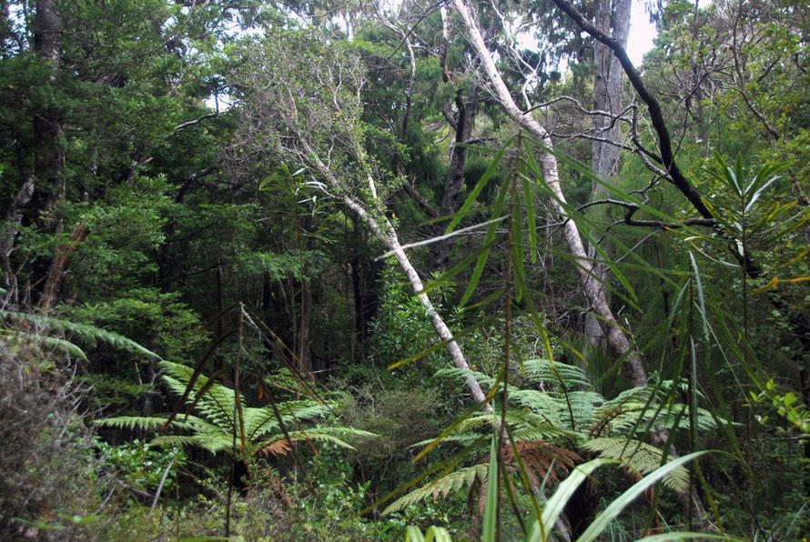 Understory on Ulva: tree ferns, lancewood, sapling trees and hardwood shrubs and possibly Kakaha/Bush Lily (astelia fragrans).