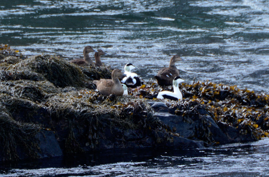 Eider ducks of which we saw many at the Straumen Bridge on the way to Gyllefjord on Senja Island.