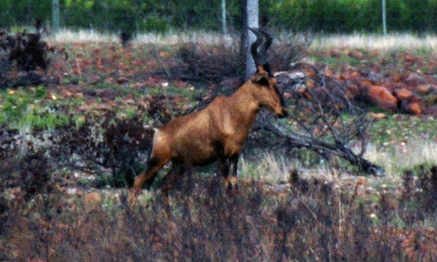 Red Hartebeest buck in recently burnt out and regenerated part of the Bontebok National Park