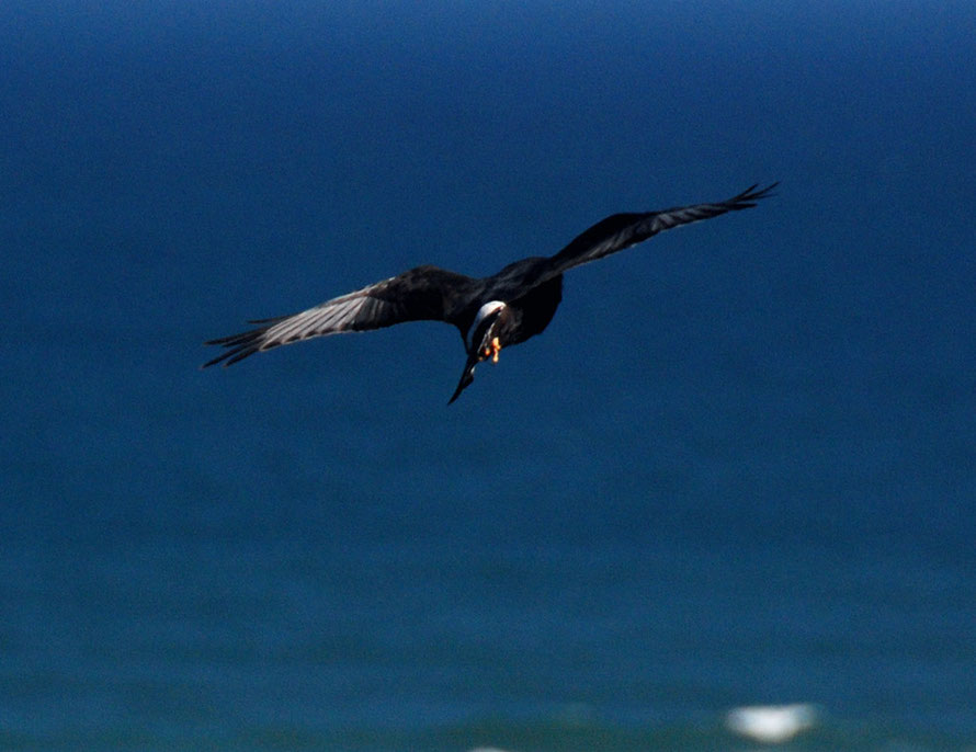There are less than 1000 breeding pairs of theBlack Harrier.  This one was at the West Coast National Park