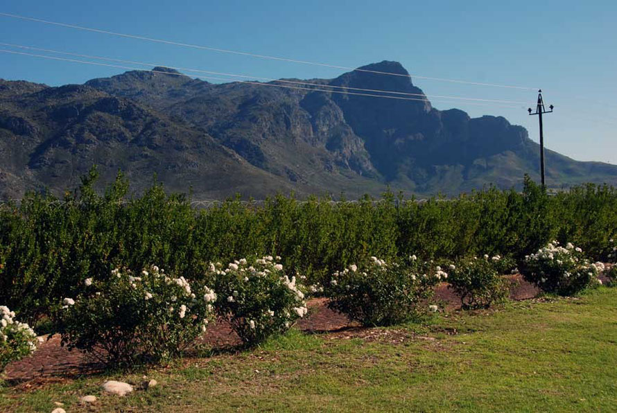 From the Moerson Vineyard, Franschoek