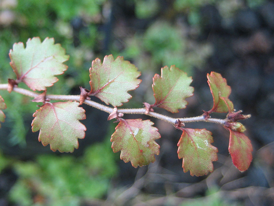 Red Beech (Nothofagus Fusca) foliage - an evergreen growing to 35m that requires nutrient river valley soils. Durable timber used for flooring