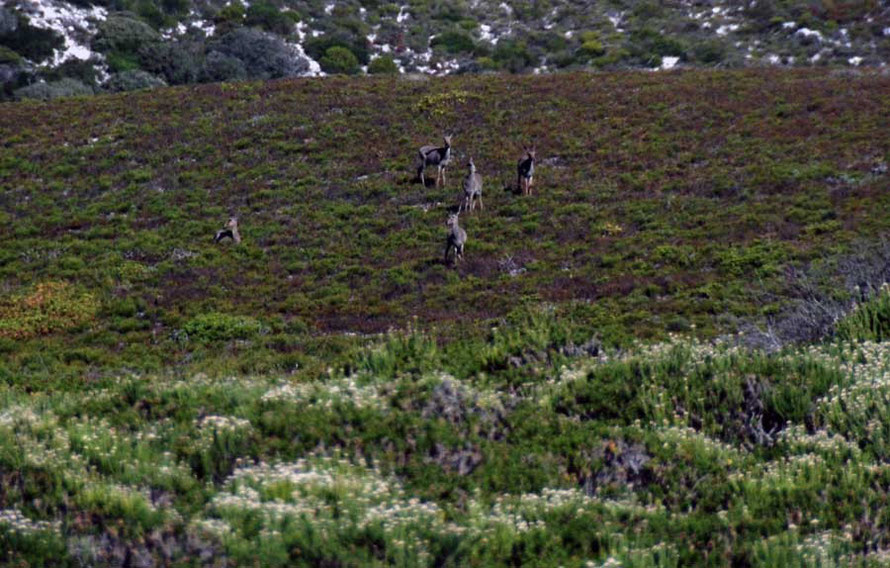 rey Rhebok (pelea capreolus) grazing Cape fynbos, nr Olifantbos Bay, Table Mountain National Park