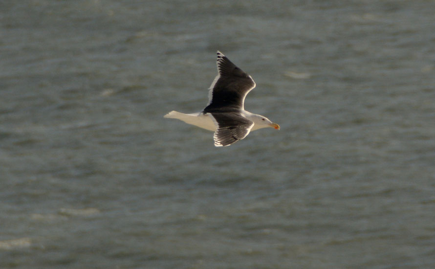 Great black-backed gull from Windmill Down cliffs, St Margaret's Bay 28 November 2015.