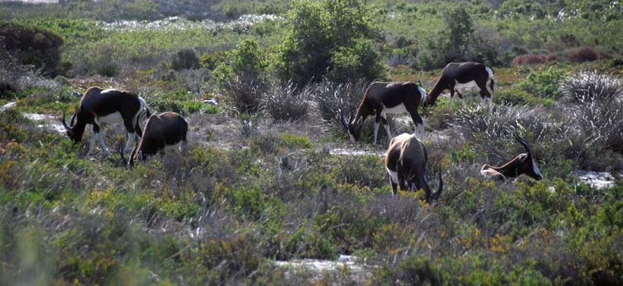 'A country that teemed with wild game.' Bontebok at Olifants's Bay, Table Mountain National Park
