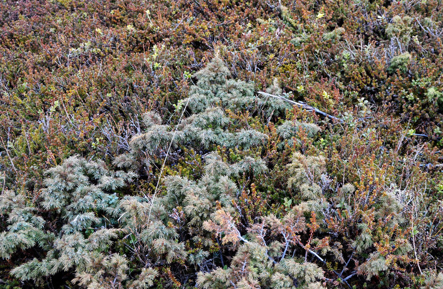 Juniper, crowberry and lingonberry heath at the windswept north end of the Sjørfjorden iin North Norway near Tromsø.