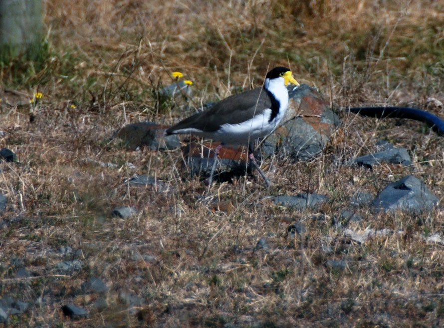 Spur-winged plovers  - Vanellus miles - at Miranda/Pukorokoro.