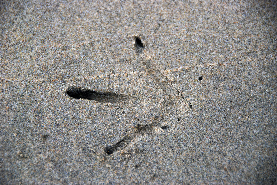 Surprisingly fleet of foot when they need to be the superbly camouflaged Weka can disappear in a trice back into the bush (Footprint, Post Office Beach, Ulva, Stewart Island).