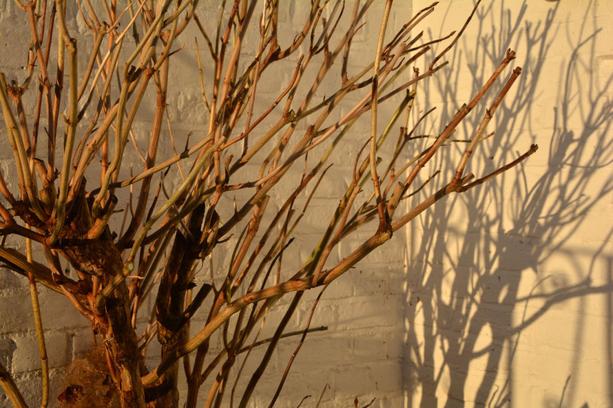 Sun and shadows at 08.20 on this pruned hydrangea.