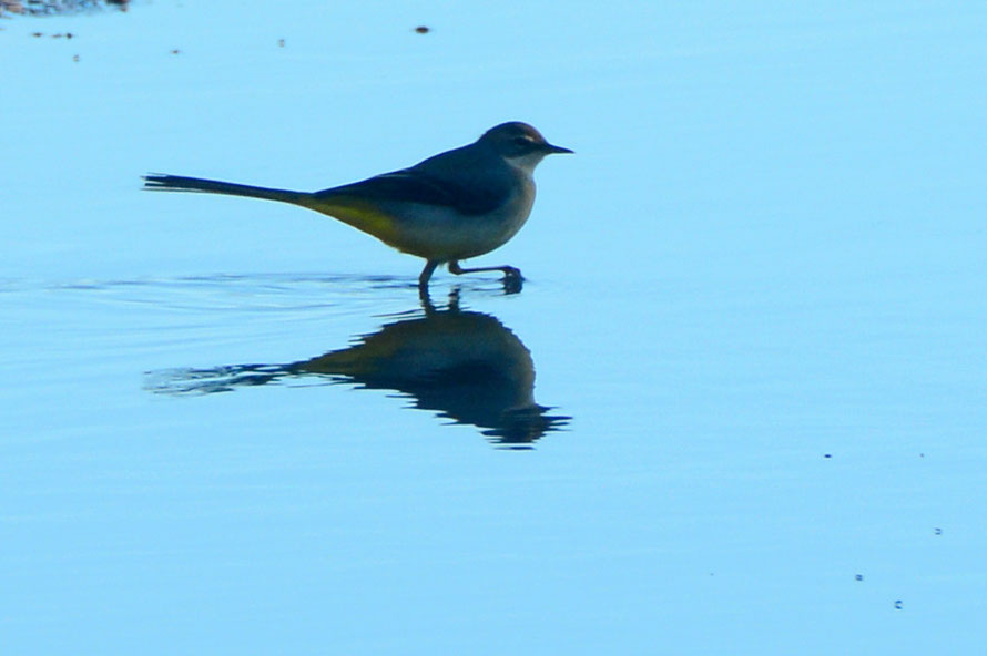 Grey wagtail hunting in a puddle, St Margaret's Bay 28 November 2015.