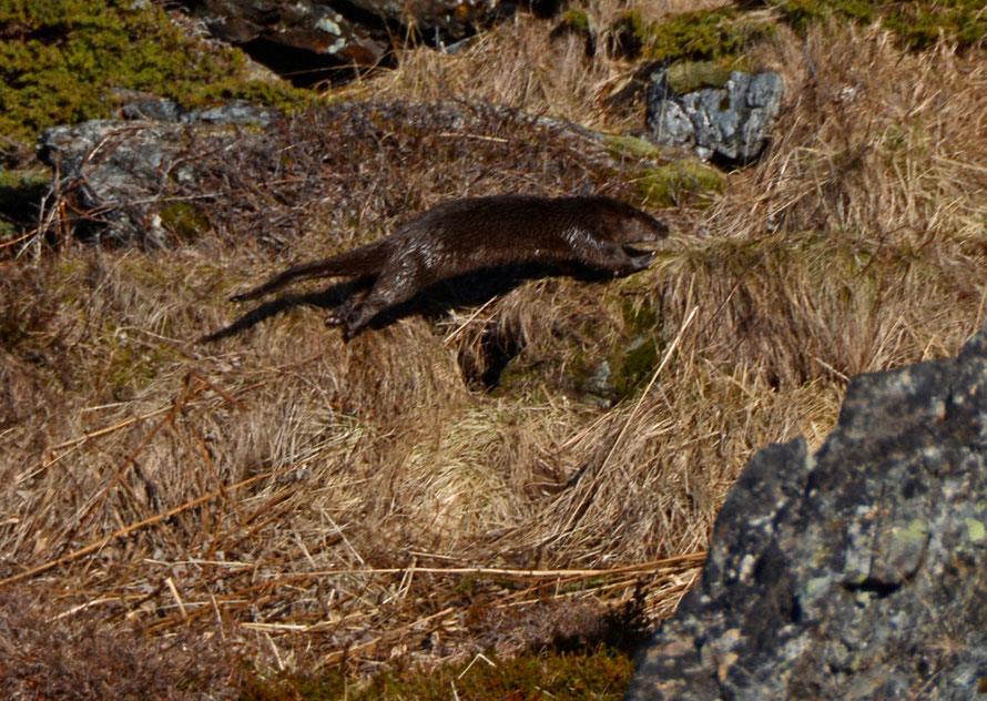 One of a pair of Otters we spotted dashing up a steep incline to a tangle of rocks at the end of the Lyngen Peninsula.