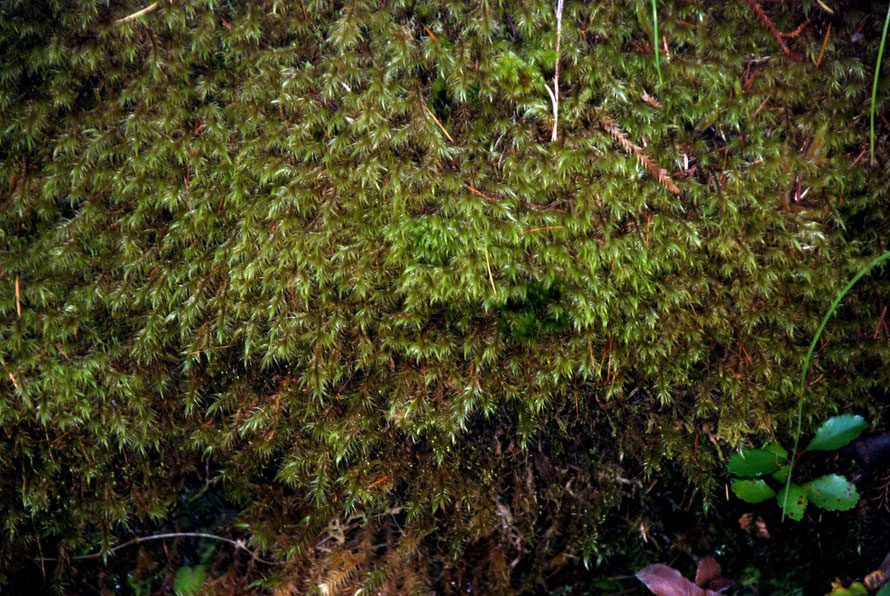 Moss on the water-race bank, Pupu Hydro walk, Golden Bay.