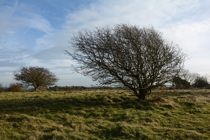 Two Hawthorn Trees, South Foreland.