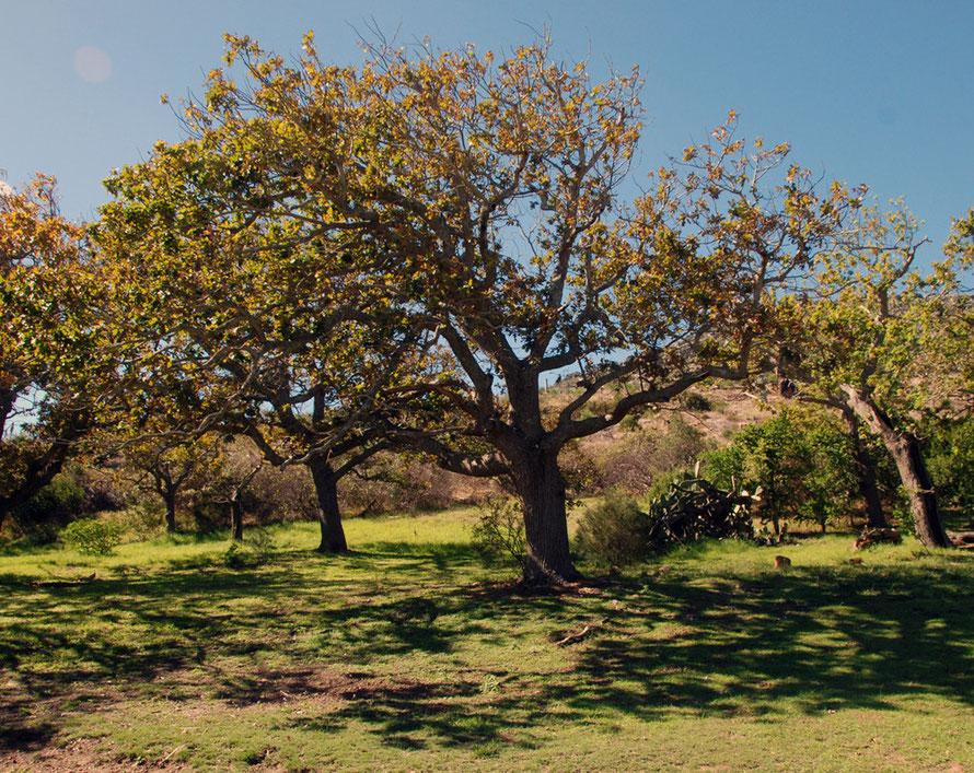 Oak grove at the old Wildkutsbrand Farm