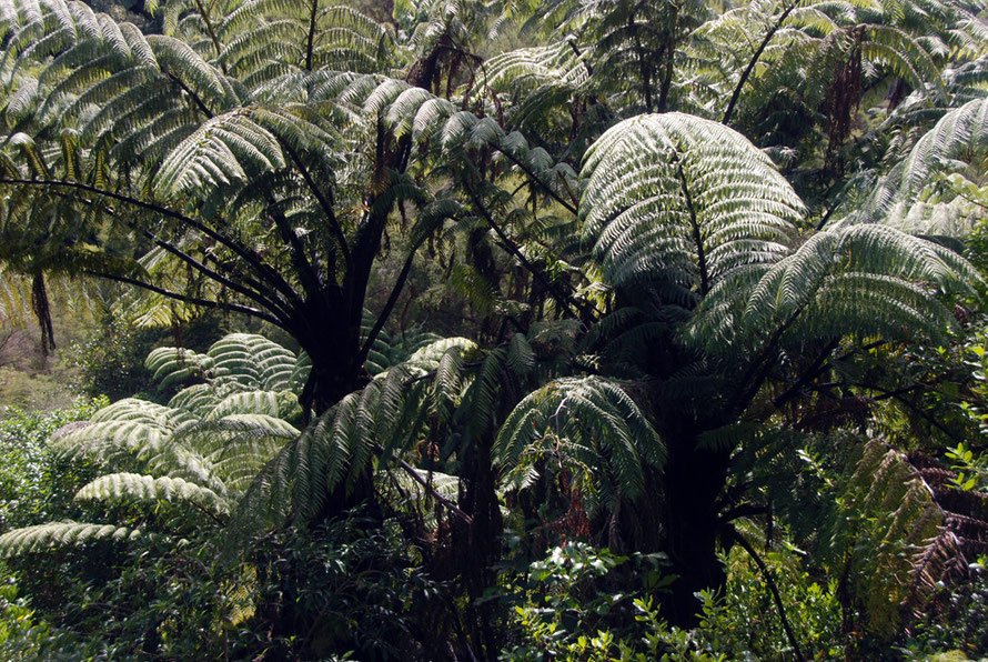Close up of tree ferns on the Wainui Falls Walk