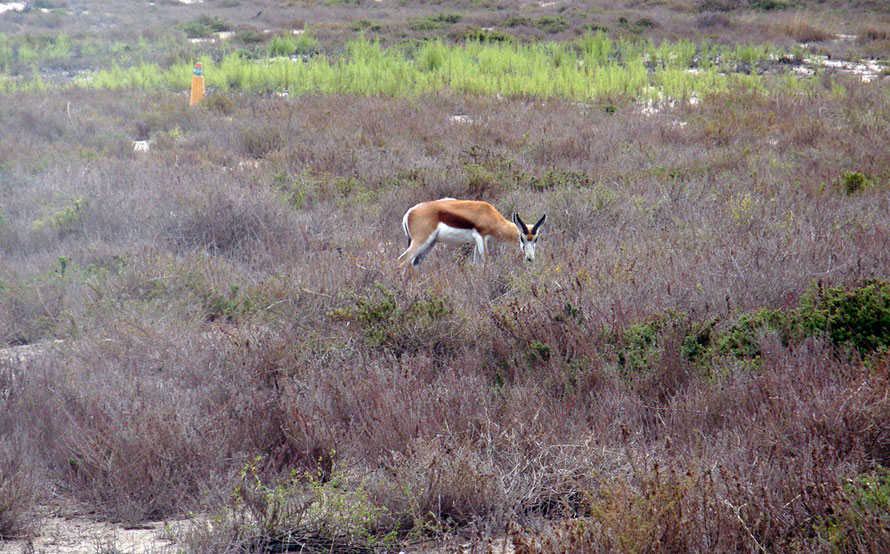 Springbok on Robben Island, of all places (c) Peg Murray Evans