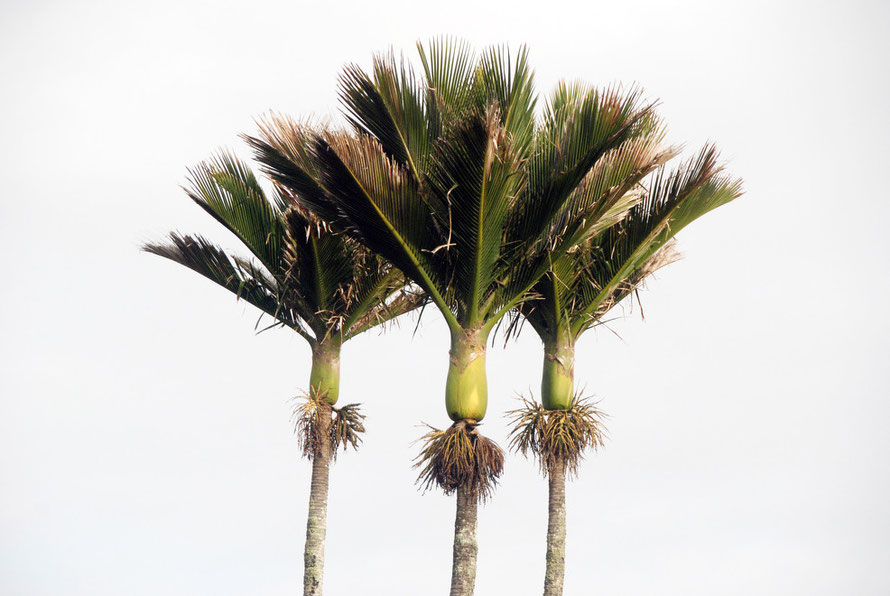 Three Nikau Palm crowns growing just south of Panakaiki Rocks, West Coast.