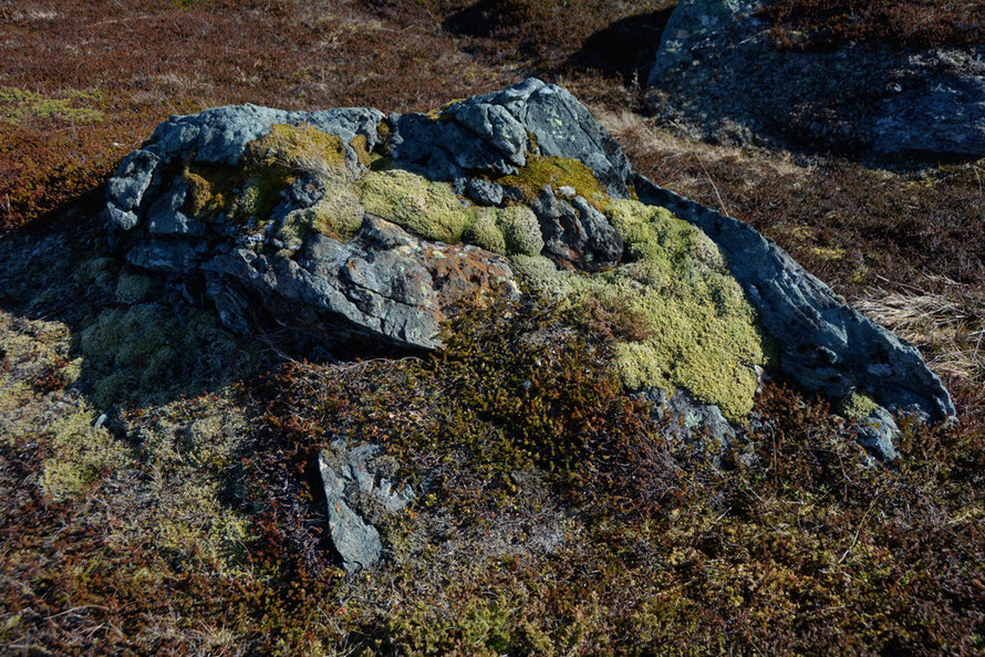 Post glacial plant progression on a boulder with lichens, mosses and common juniper colonising this outlier from the last ice age at Russelv.