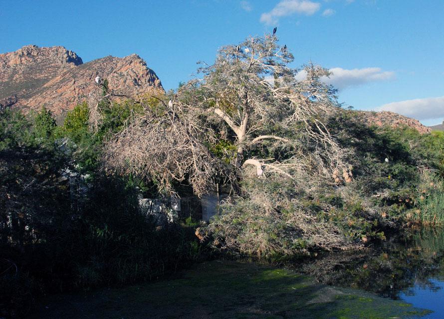 Acacia roosting tree in Montagu