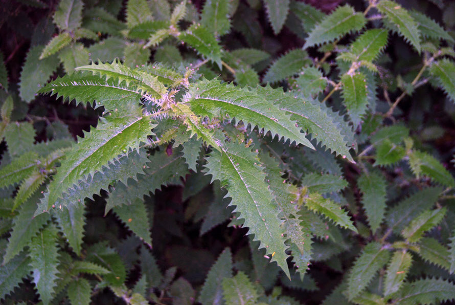 Ongaonga/tree nettle - Urtica ferox - on the Taupo Head walk, Golden Bay. The tree nettle is one of New Zealand's most poisonous native plants.