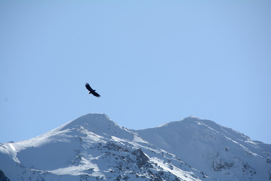 Sea Eagle soaring above Russelvfjellet (800m) at the end of the Lyngen Peninsula.