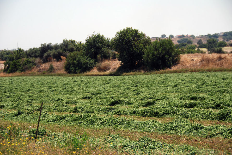 Irrigated cut fodder crop, near Mari