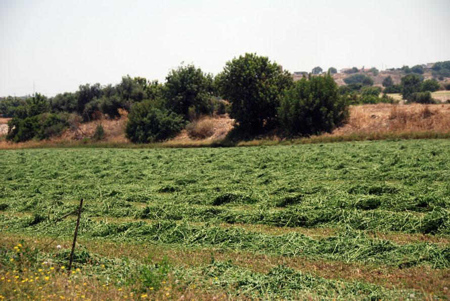 Irrigated cut fodder crop, near Mari