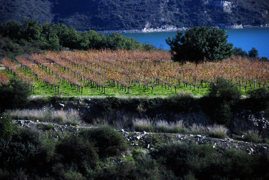 Vines above the waters of Kouris Reservoir, January, 2013